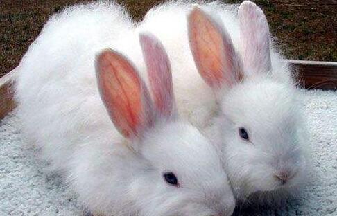 长毛兔还能养吗?
