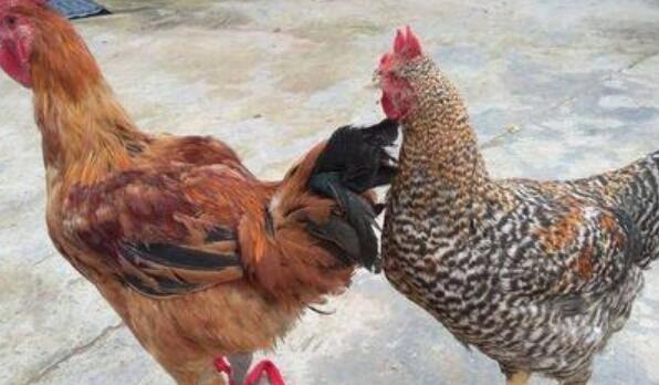 三黄鸡好还是芦花鸡好?