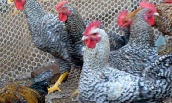 现在养100只芦花鸡一年利润多少?