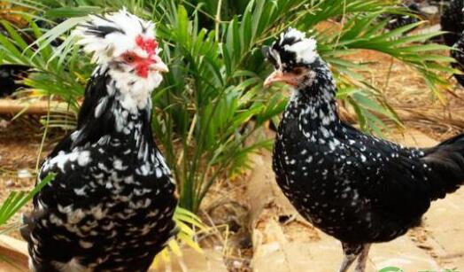 贵妃鸡的缺点有哪些?