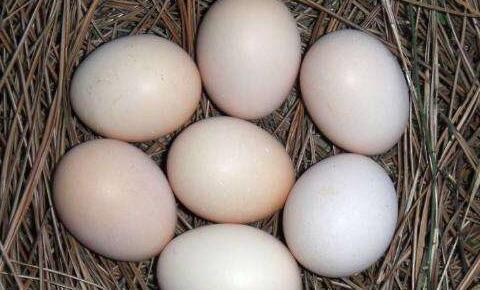 珍珠鸡一天下几个蛋?