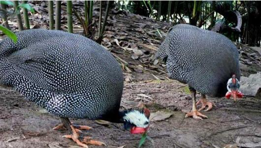 怎样饲养珍珠鸡?