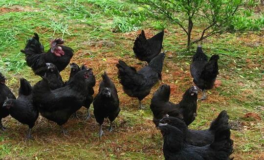 绿壳蛋鸡品种主要哪个好?