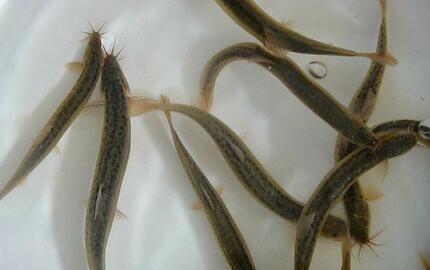 现在养殖泥鳅的利润如何?