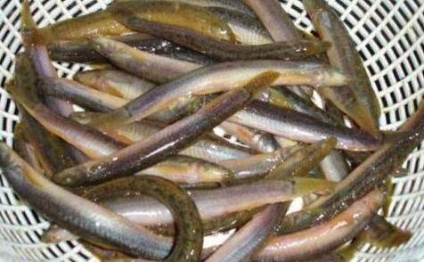 今年泥鳅多少钱一斤2020?