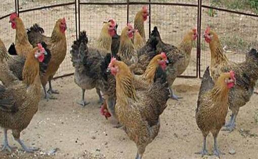 现在青脚麻鸡的养殖技术有哪些?