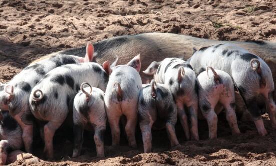 预测未来5年养猪前景会怎么样?