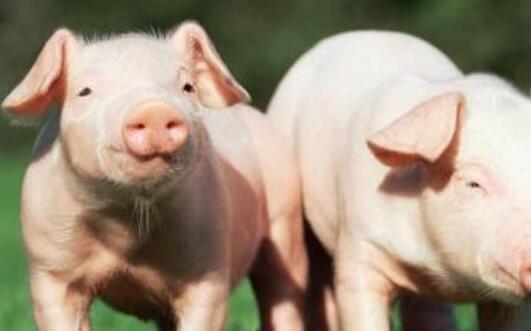 明年2021年一2022年猪价怎样?