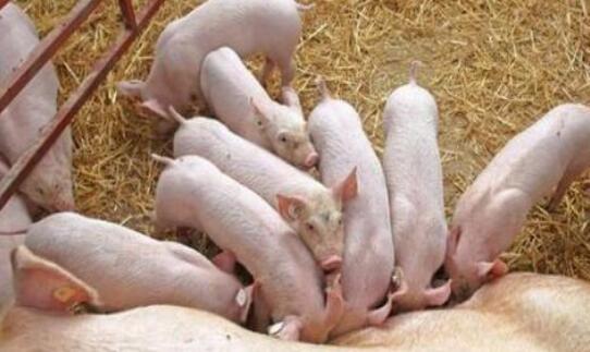 满月仔猪如何饲养?