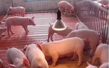 猪仔下多了应该怎么喂?