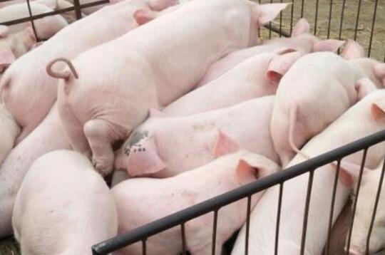 断奶仔猪不吃料怎么办?