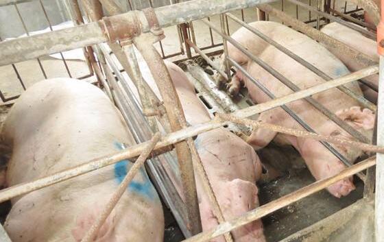 现在种猪引种要注意什么?