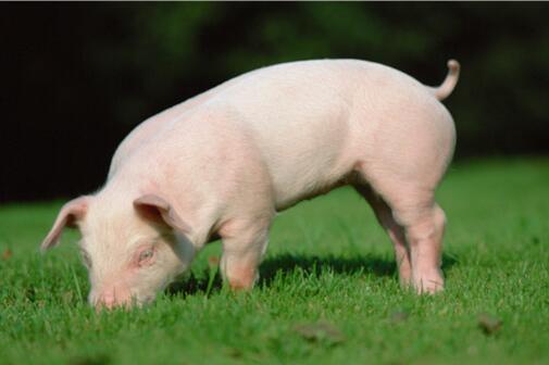 2021年猪价能暴涨吗?