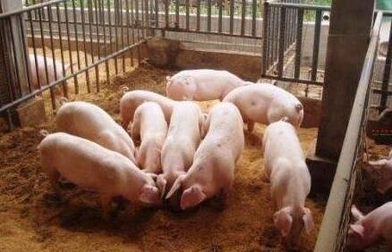 猪上午几点喂最合适?