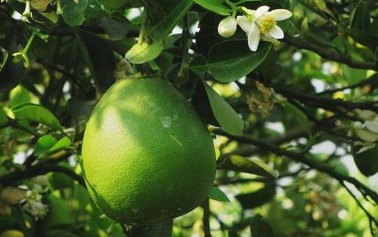 现在种一亩柚子要投资多少钱?
