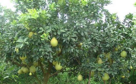 柚子树种植环境条件有哪些?