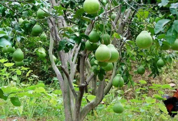 柚子要怎么种植才容易结果?
