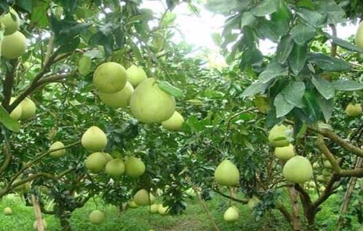 现在柚子种植成本和利润有多少?