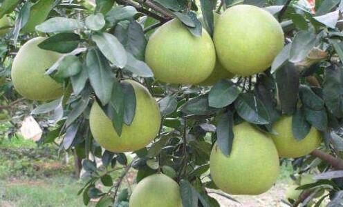柚子种植栽培管理技术有哪些?