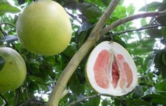 柚子种植时间和方法有哪些?