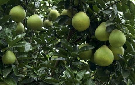 柚子树寿命一般有多久?