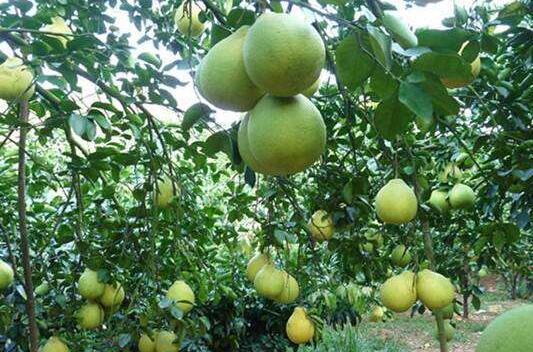种植柚子每亩产量有多少?