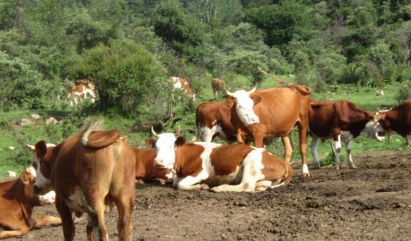 养牛的真实利润要怎么计算?