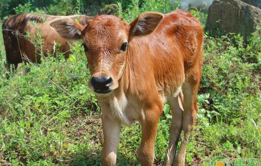养黄牛一只有多少利润?