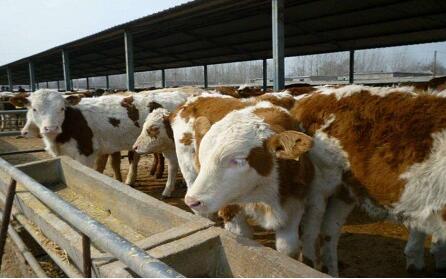 肉牛养殖饲料配方技术有哪些?
