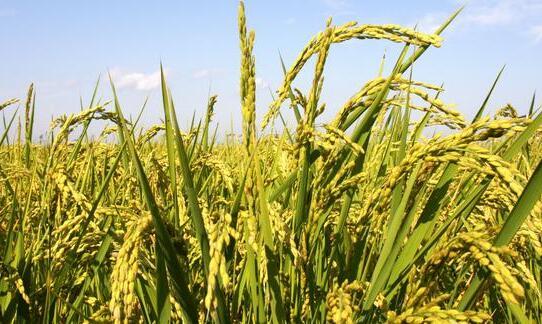 水稻最好的种子有几个品种?