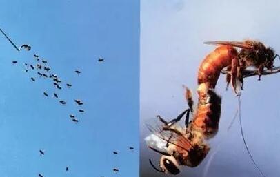 蜂王是怎么交配的?