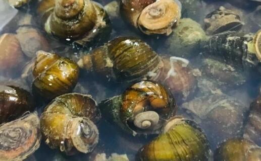 田螺养殖一亩一般可以产多少斤?