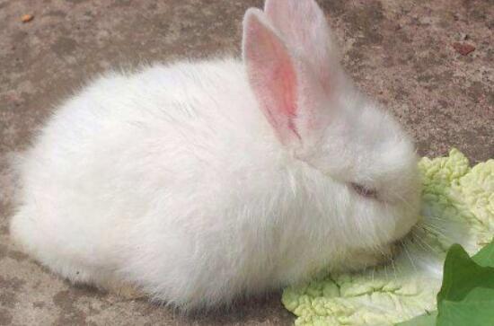 怎么判断兔子是否吃饱了?