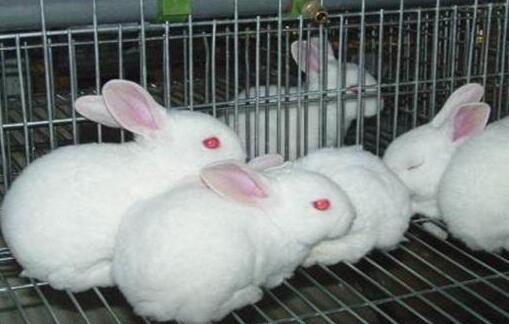 兔子究竟是如何繁殖?