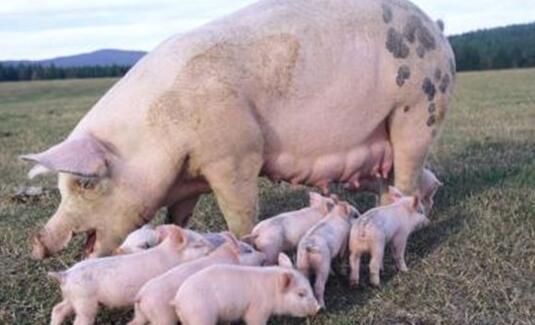 一般母猪难产怎么办?