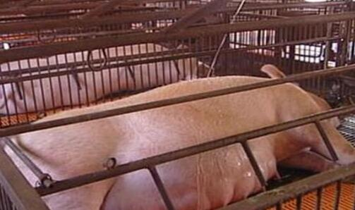 母猪肉究竟能吃吗?