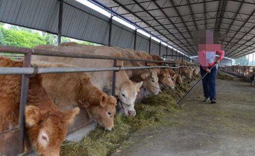 怎样喂牛长得快又省钱?