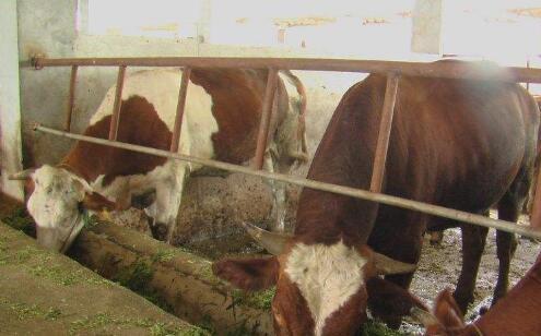 一亩地牧草可以养牛多少头?