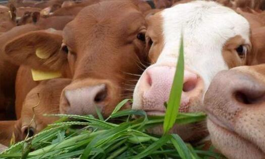 皇竹草可以喂养牛吗?