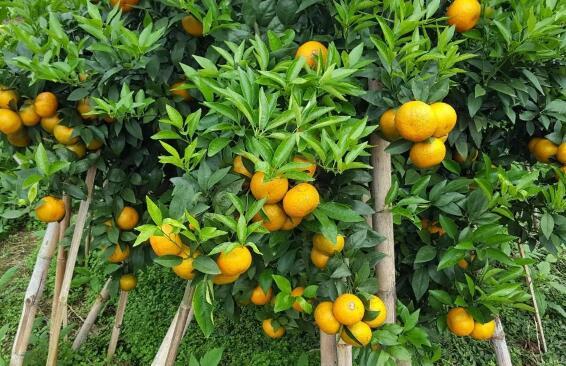 沃柑施肥1到12月全年详细方案有哪些?