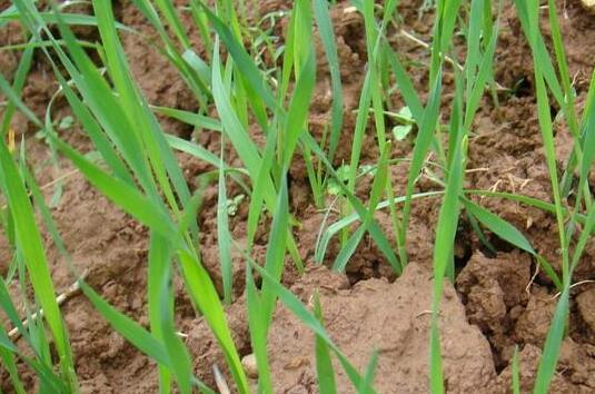 如果小麦播深了还能出来吗?