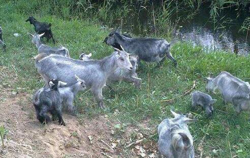 太行山羊放牧养殖有什么要求?