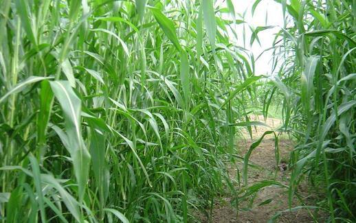 高丹草一般可以生长几年?