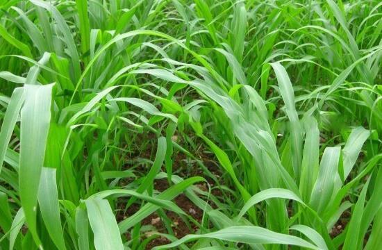 种植高丹草多少天可以割?
