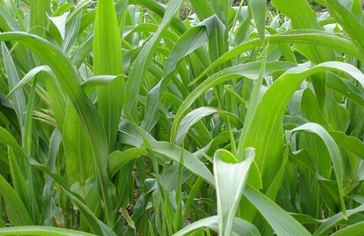 种植高丹草跟皇竹草哪个好?