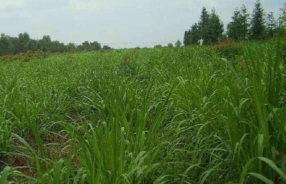 种植高丹草一亩地需要多少斤种子?
