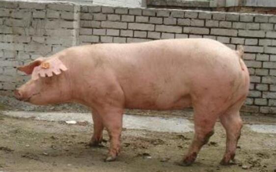 长白猪大白猪哪个长得快?