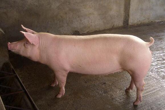 长白猪可以做母猪吗?