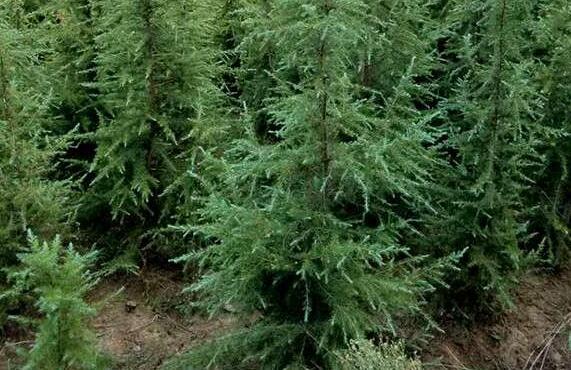 盆栽雪松养殖方法和注意事项有哪些?