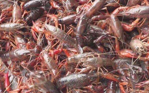 养殖小龙虾的技术和管理流程有哪些?